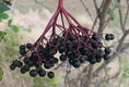 Fekete bodza termése