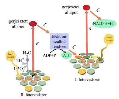 A fotoszintézis fényszakaszának energetikai viszonyai