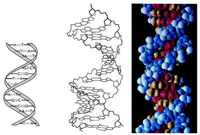 A DNS kettős hélixe