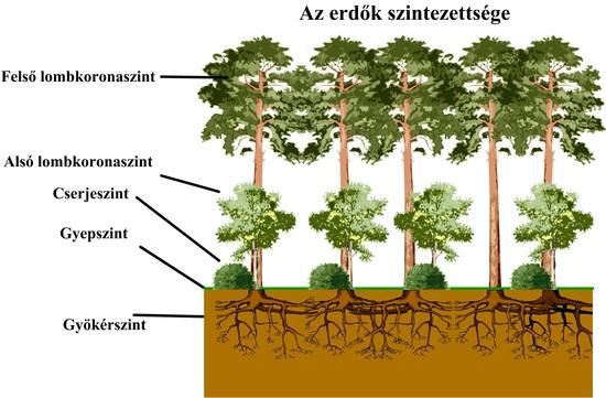Az erdő szintjei