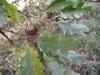 Csertölgy terméses hajtása
