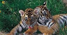 Kihalás szélén a tigrisek