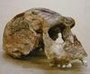Homo erectus koponyája