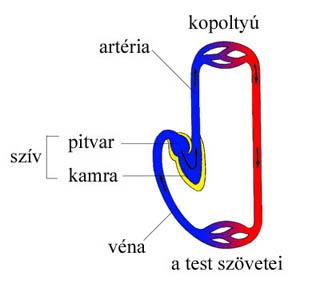 A halak keringési rendszerének sematikus rajza