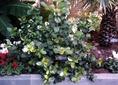 Khat növény