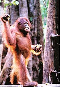 orangutan-vertical