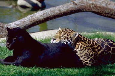 A jaguár foltos és fekete színváltozata