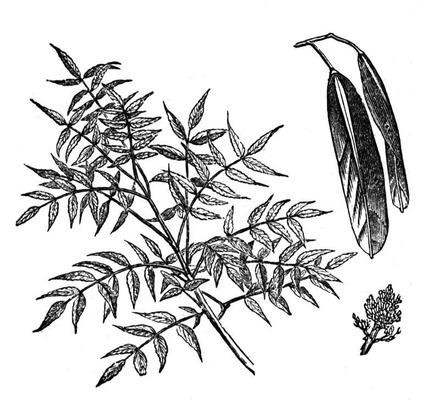 Kőrisfa termése