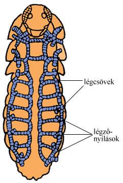 A rovarok légcsőrendszere