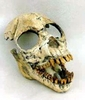 Ősi emberszabású majom (Dryopithecus) koponyájának maradványa