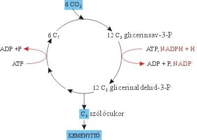 A szén-dioxid megkötése és redukciója a Calvin-ciklusban