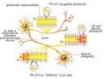 Az idegi áramvezetés folyamata az idegszálakban