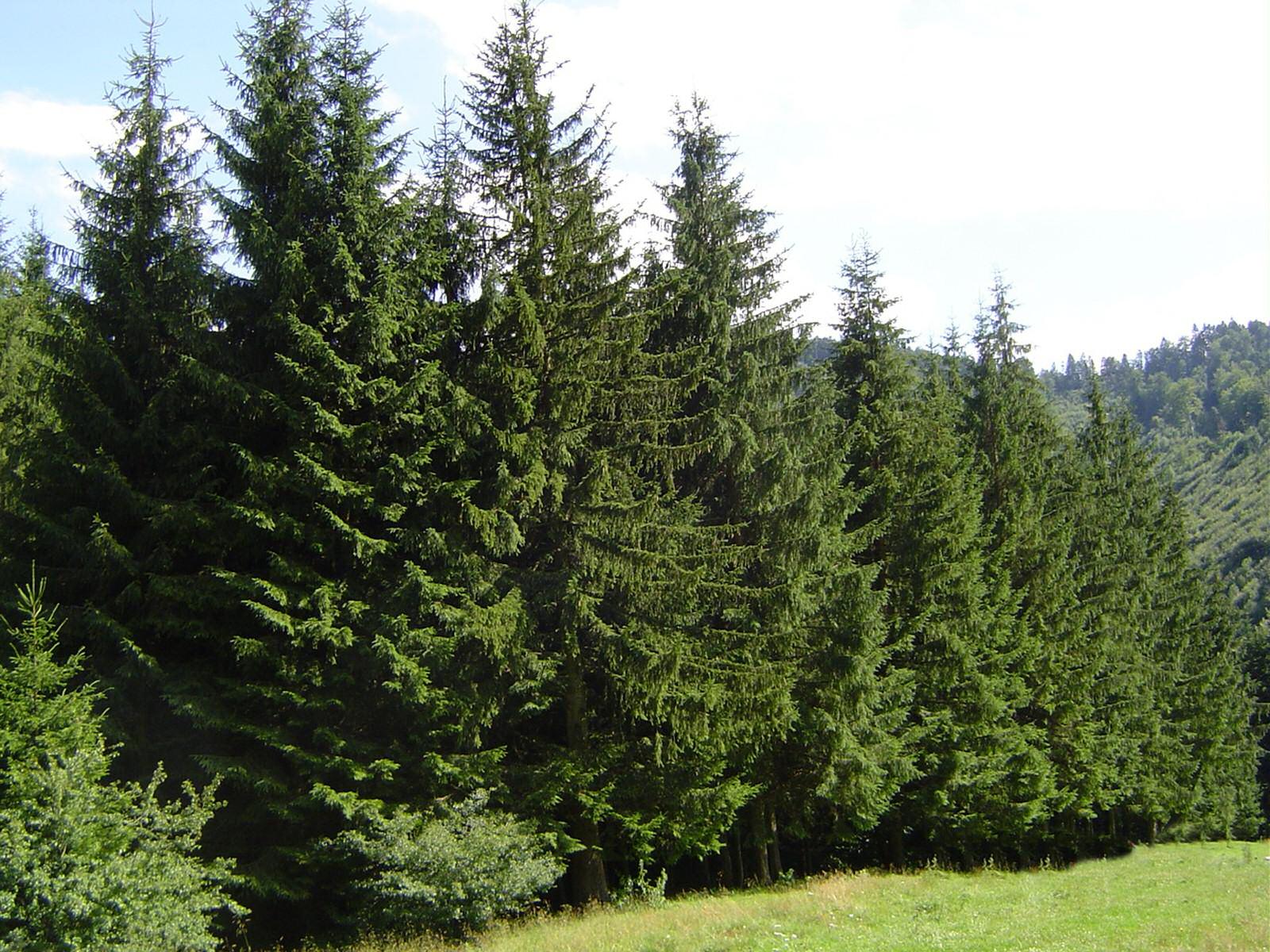 """Képtalálat a következőre: """"tűlevelű fák"""""""