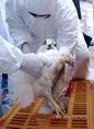 Madárinfleunza-fertőzés elleni védekezést szimuláló gyakorlat