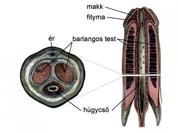 A pénisz alakja és szerkezete