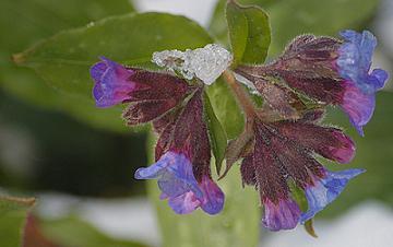 Kék és piros virágú pettyegetett tüdőfű