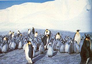 Császárpingvinek