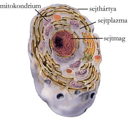 Az emberi sejt felépítése