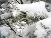 Hófödte ág