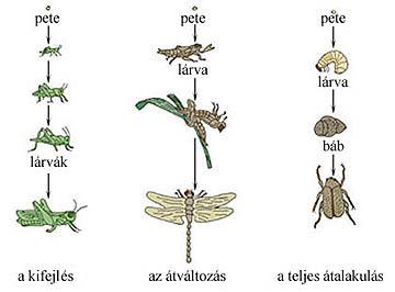 A rovarok egyedfejlődésének típusai
