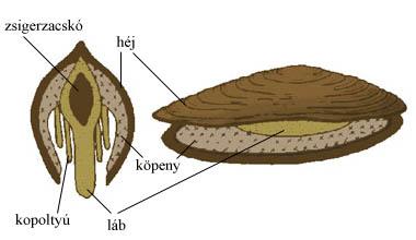 A kagylók testfelépítése