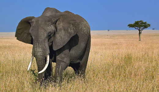 hoseg-elefant