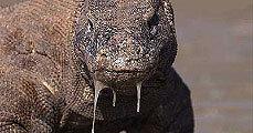 A komodói sárkány