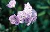 Lágy szárú növény virágja