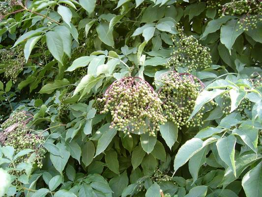 Sambucus nigra (fekete bodza)