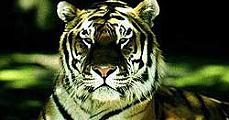 Éheznek a szibériai tigrisek