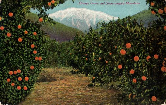 Kaliforniai narancsültetvény