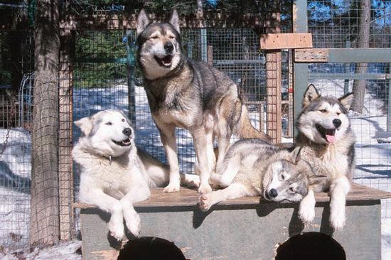 Az eszkimó segítőtársai: a szánhúzó kutyák