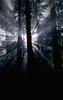 Fenyőerdő részlete