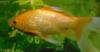 Aranyhal képe közelről