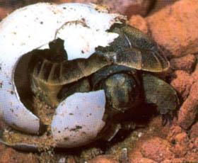Tojásból kibújó teknős