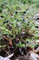 Áfonya termése