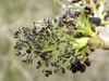 Kőrisfa virágja