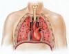 A tüdő és a szív elhelyezkedése a mellüregben