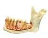 A fogak illeszkedése az állkapocsba