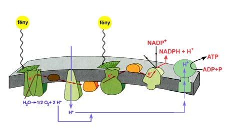 A fotoszintézis fényszakaszának enzimrendszere
