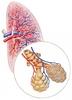 A tüdő felépítése