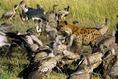 Keselyűkről, hiénákról és marabukról készült felvétel