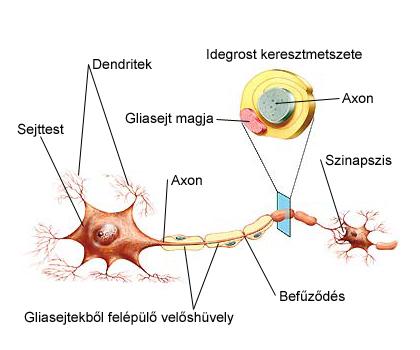 Az idegszövet sejtjei