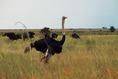 Füves szavanna képe, strucc (Afrika)