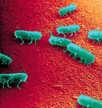 Salmonella baktériumok