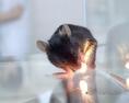 Gyógyszerkutatásban használt kísérleti egér a laboratóriumban