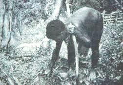 Ásóbotos földművelő Pápua Új-Guineában