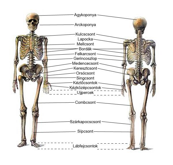 A csontváz felépítése