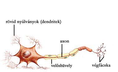 Az idegsejt szerkezete