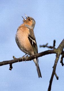 Éneklő erdei pinty